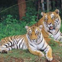 Bannerghatta National Park Tiger safari
