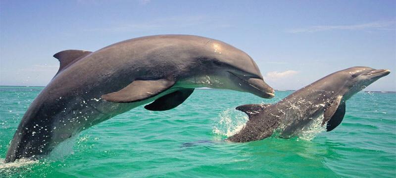 Dolphins Goa
